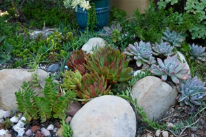 Succulents used in water-wise garden in Santa Barbara