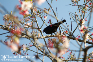 A bird sits in a flowering spring tree