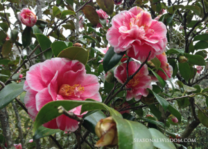 Pink camillia at Middleton Place Charleston SC
