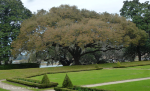 Old tree and orderly garden at Middleton Place Charleston SC