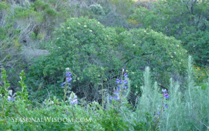 Sambucus mexicana and lupine at Ventura Botanical Garden