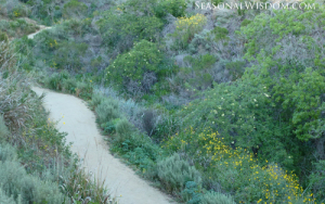 Pathway through Ventura Botanical Gardens with elder and lupines