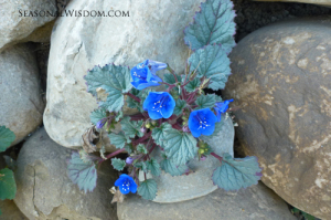 Phacelia campanularia grows at Ventura Botanical Gardens