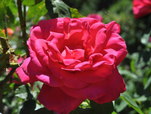 Rosa, Miss All American Beauty from the 20-30 Something Garden guide