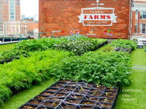 Fenway Farms uses milk carton system and drip irrigation