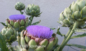 Growing artichokes at home gives you food and f