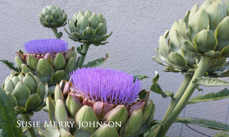 Growing Artichokes at Home