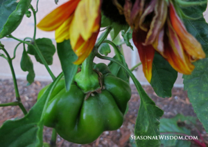 Hungarian sweet pepper and sunflower