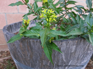 Kodiak Black Bush Honeysuckle in pot