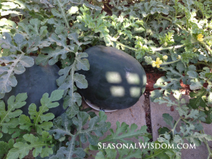 two black diamond watermelons
