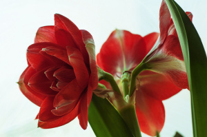 Striking red amaryllis is great for winter cheer