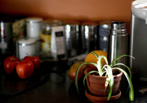Spider plant in winter kitchen