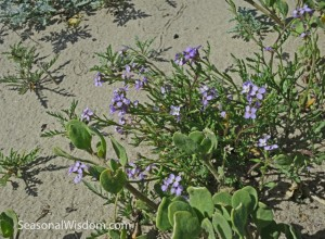 unknown purple flower growing in sand