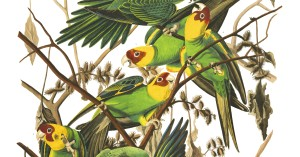 Carolina Parrot Illustration by Audubon