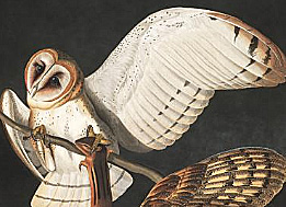 Barn owl illustration from audubon