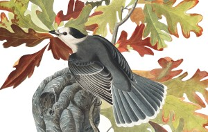 Canada Jay illustration by audubon