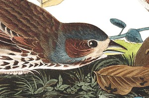 Fox coloured sparrow illustration by audubon